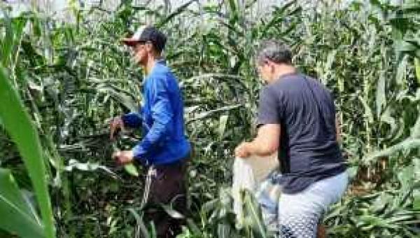 Com assistência técnica produtores comemoram a boa safra de milho verde no sudeste do Estado