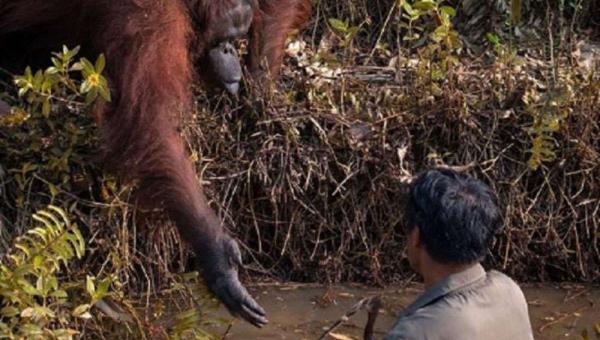O fotógrafo amador Anil Prabhakar registrou o momento em que um orangotango estendeu a mão para retirar um homem de dentro de um rio infestado por cobras.